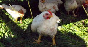 صورة امراض الدجاج التنفسية , الدجاج والاعتناء به