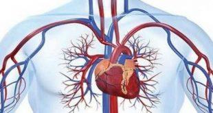 صورة الفرق بين الوريد والشريان , الدورة الدمويه في الجسم