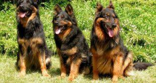 صور صور كلاب بلجيكى , اشرس انواع الكلاب
