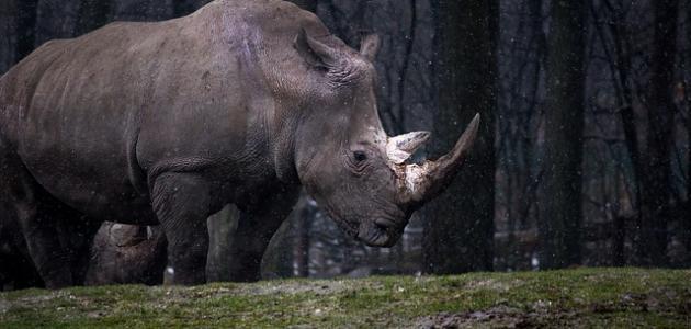 صورة اسماء وحيد القرن , معلومات عن الهرميس