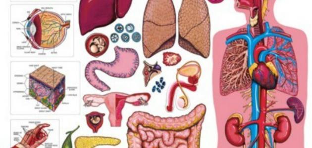 صورة معلومات عامة عن جسم الانسان , مما يتكون الجسم البشري