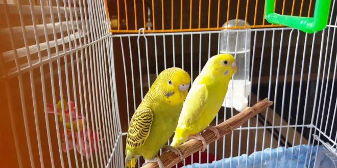 صورة معلومات عن طيور البادجي , اجمل ما يزين المنازل