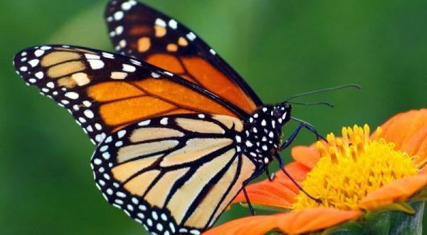 صورة معلومات عن الفراشة , حقائق مهمة عن حياة الحشرات الطائرة