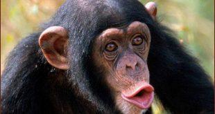 صورة ما هو صوت القرد , بتحب القرد اعرف اسم صوته