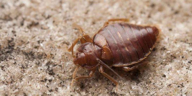 صورة علاج حشرة البق , تخلصي من البق في منزلك للابد