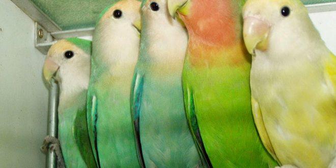 صورة معلومات عن طيور الحب , كل شيء عن طيور البادجي