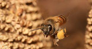 صورة فوائد صمغ النحل , علاجات صمغ النحل للانسان