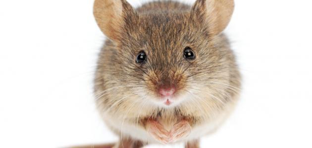 صورة الفئران في البيت , تخلصي من حشرات المنزل