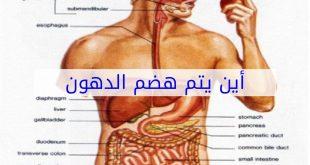 صورة اين يتم هضم الدهون , نريد ان نعرفه جميعنا