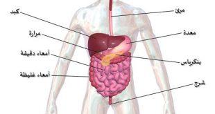 صورة اين يوجد الكبد , بعض من الاشخاص لا تعرف مكانه