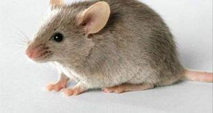 صورة وجود الفار في البيت حسد , من علامات الحسد في المنزل الفئران